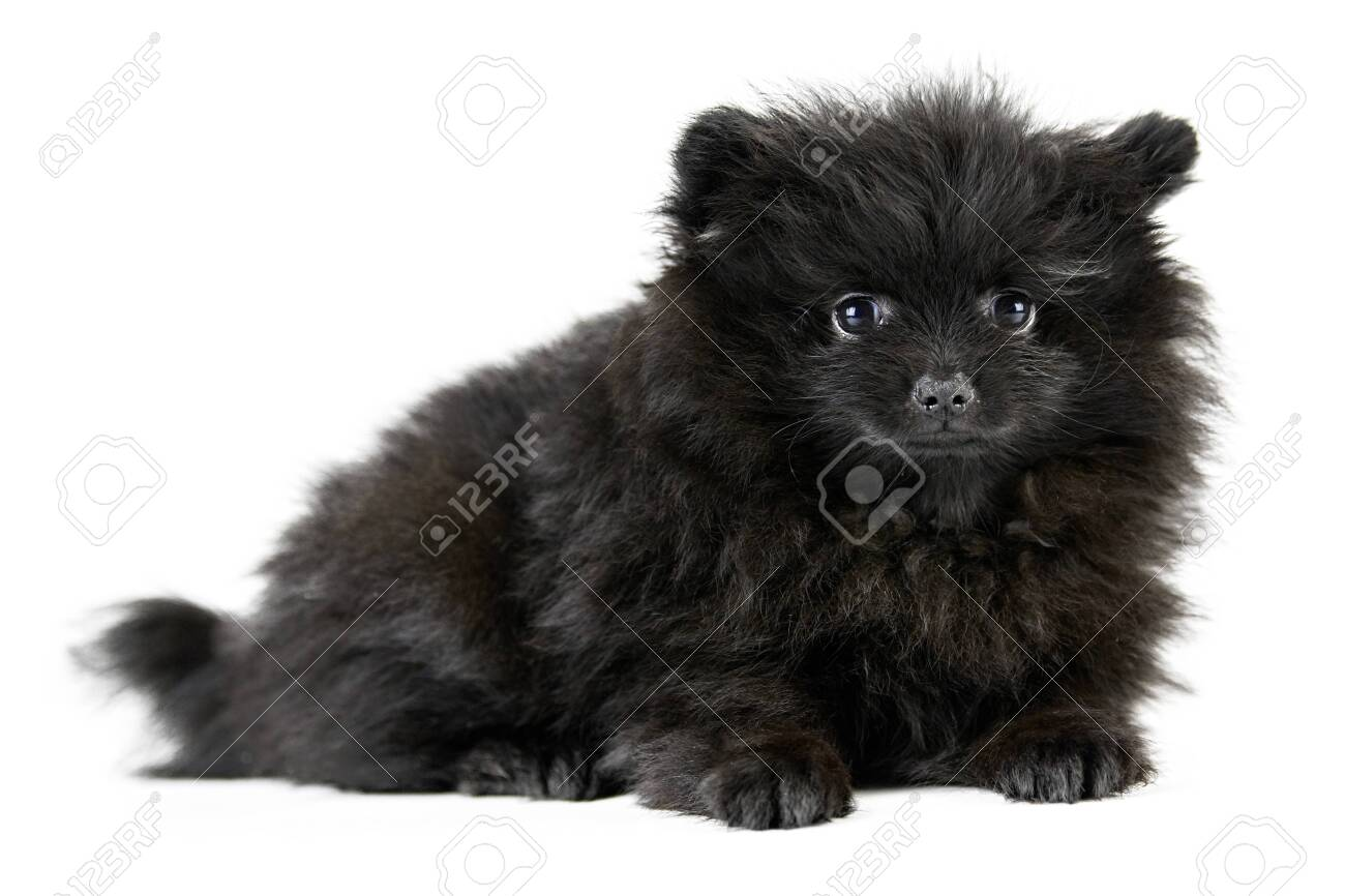 Pomeranian Puppy Spitz Isolated Cute Black Pomeranian White Stock Photo Picture And Royalty Free Image Image 153730650
