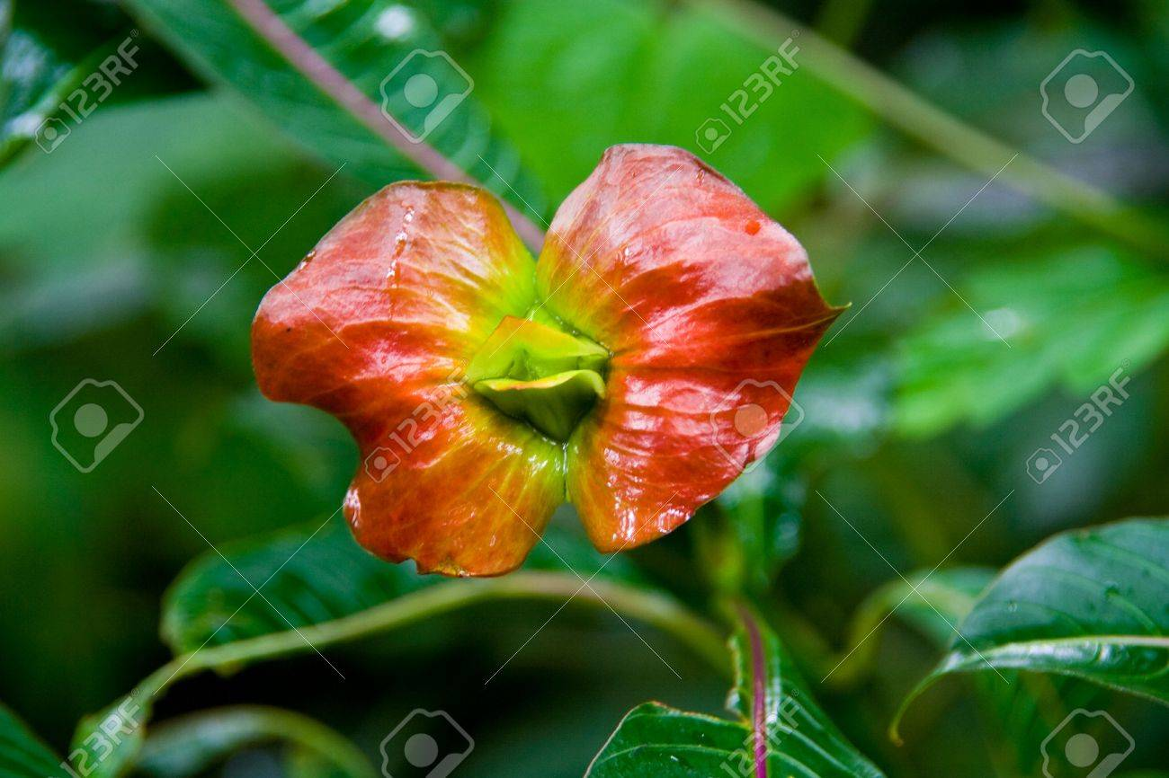 a flower in the jungle that looks like kissing lips Stock Photo - 3712882