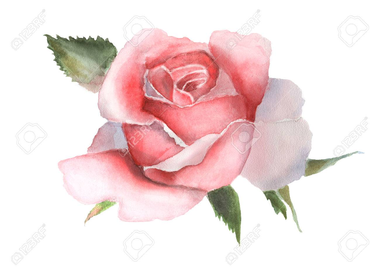 Watercolor pink rose isolated on white background. Handmade drawing. - 66293837