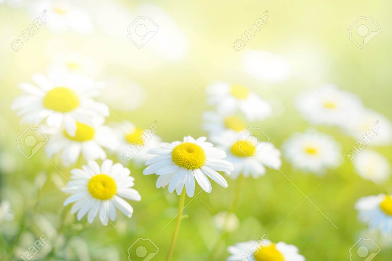 Spring daisies in a field. - 73948914