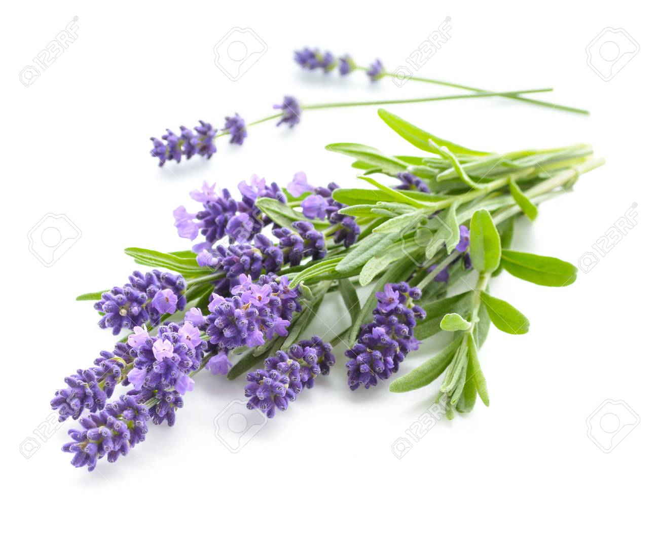 Lavender bunch on a white - 90611705