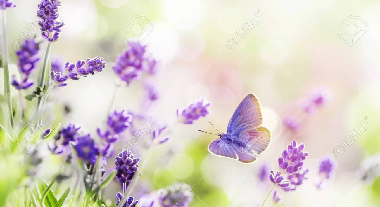 Blossoming Lavender and butterfly summer background - 127616808