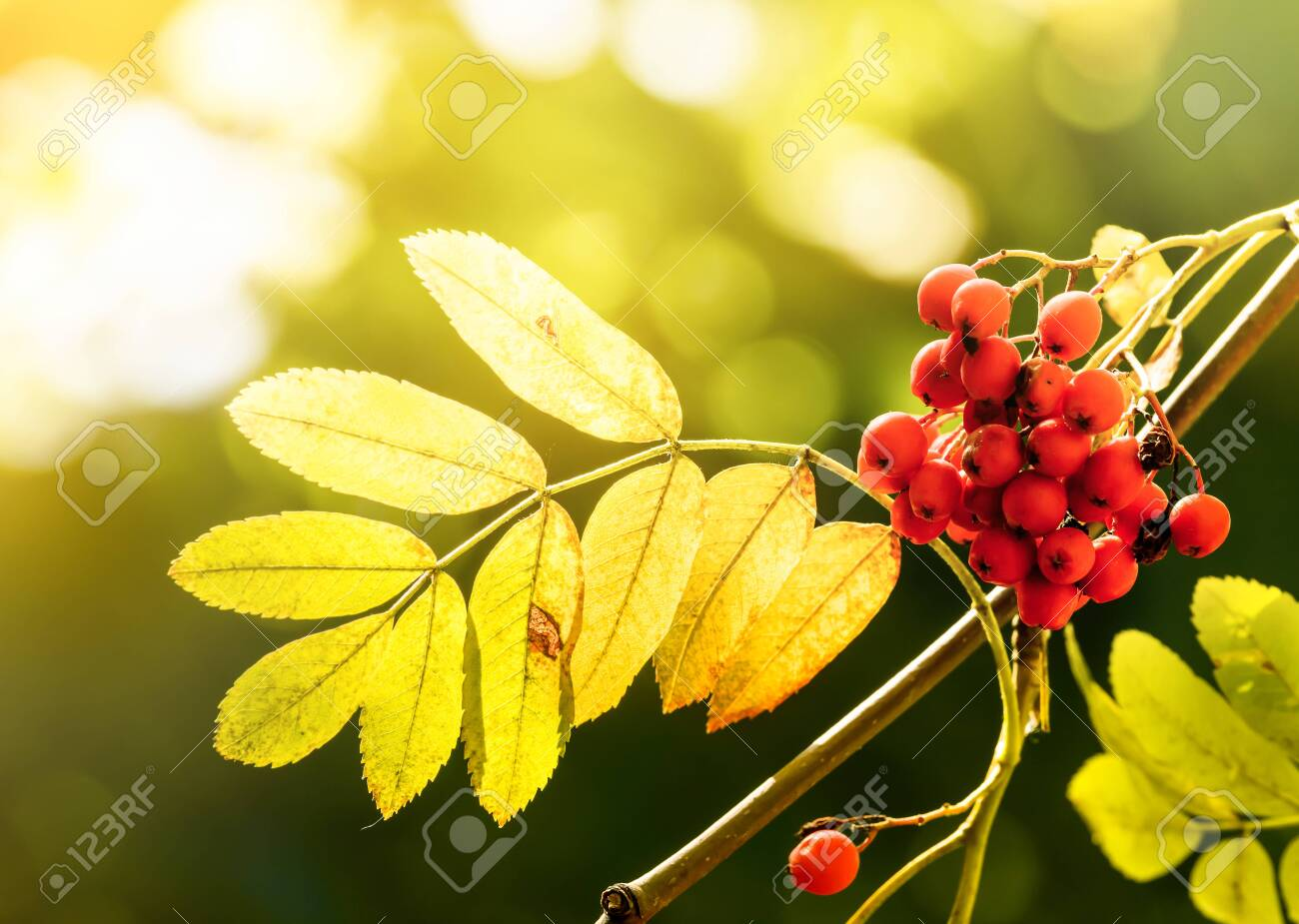 Autumn Rowan Tree With Red Berries And Yellow Leaves Stock Photo