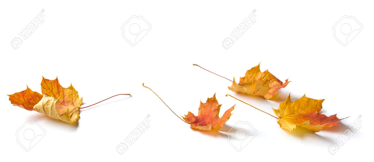 Maple leaves composition isolated on white background - 157022483