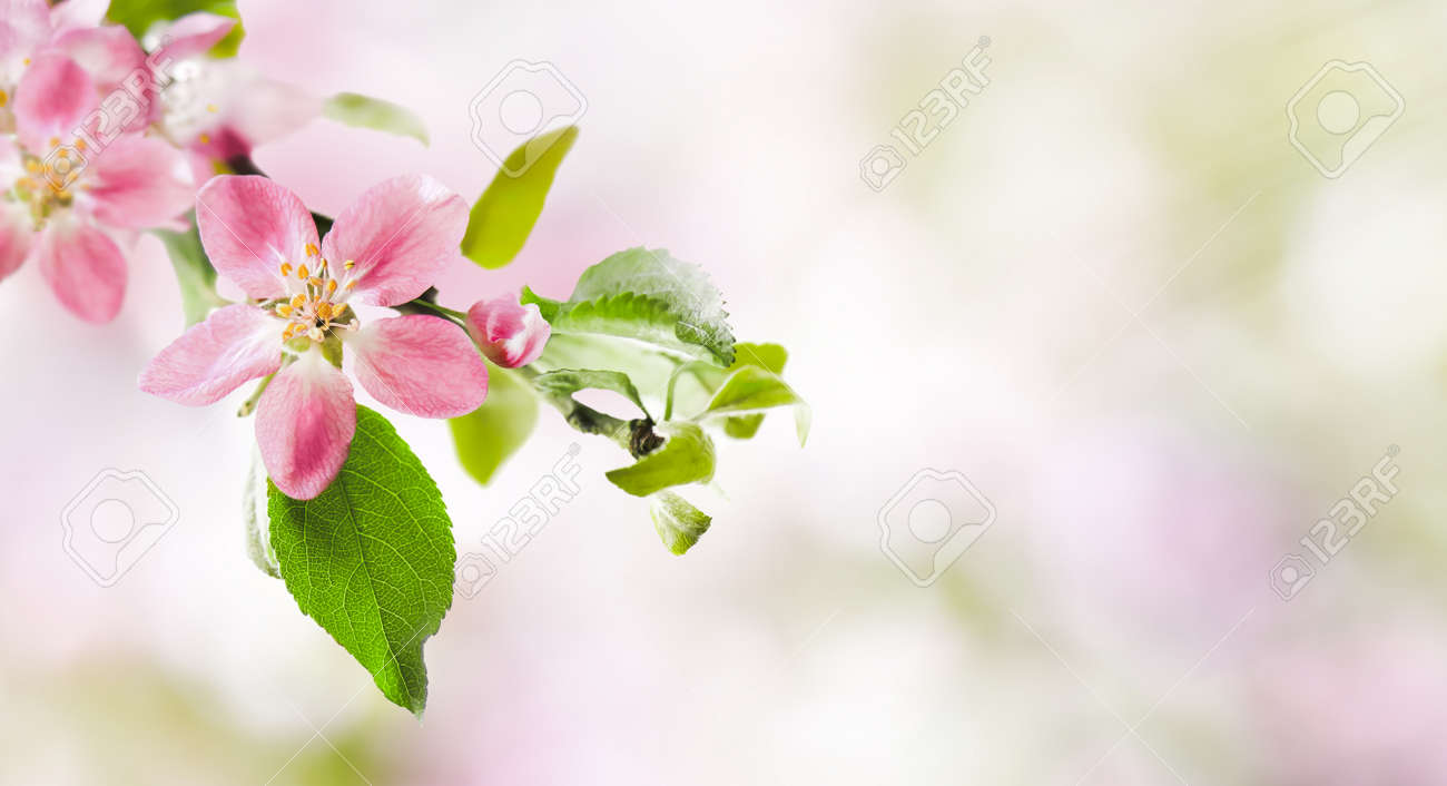 Spring pink apple blossoms on abstract blurred nature background. Spring banner, border with copy space. - 169711069