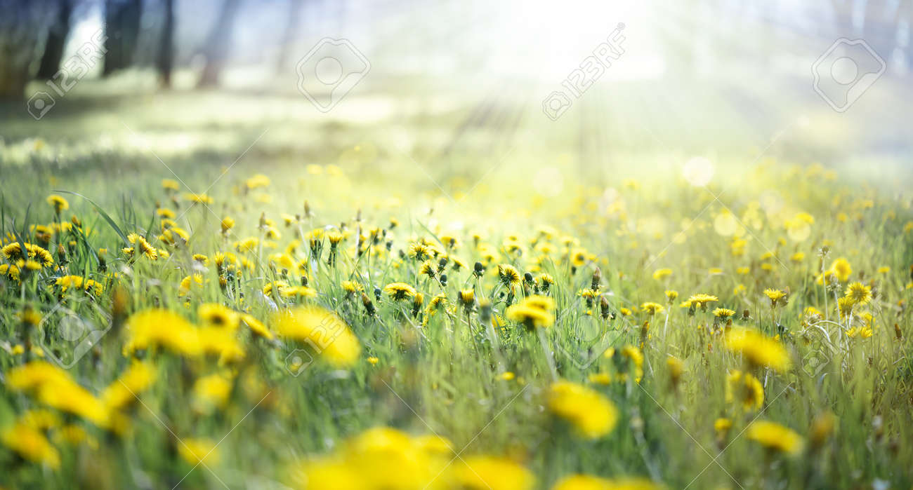 A field of yellow dandelions in a meadow and sunlight - 169711167