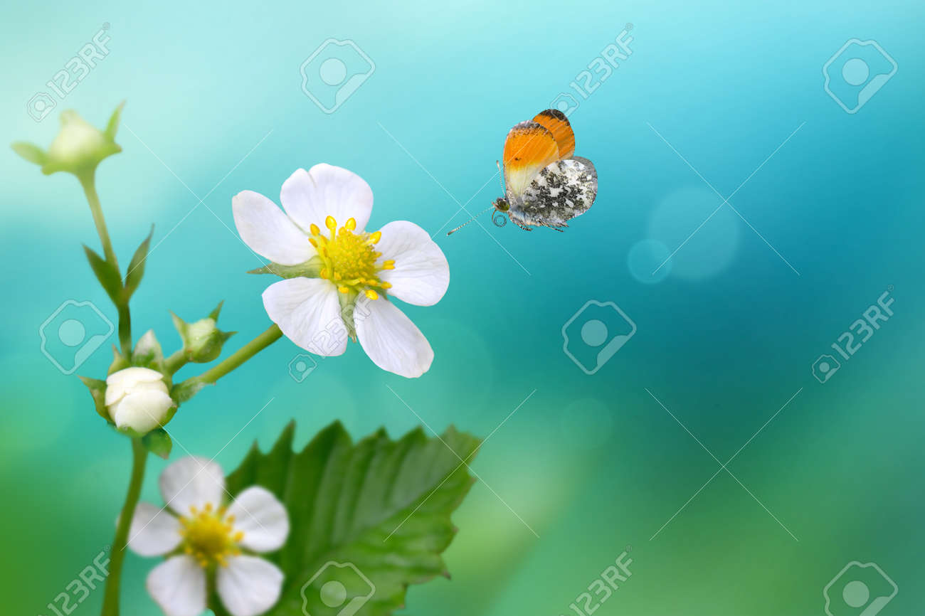 Orange Tip butterfly Anthocharis cardamines flying over wild strawberry flower . - 169711176