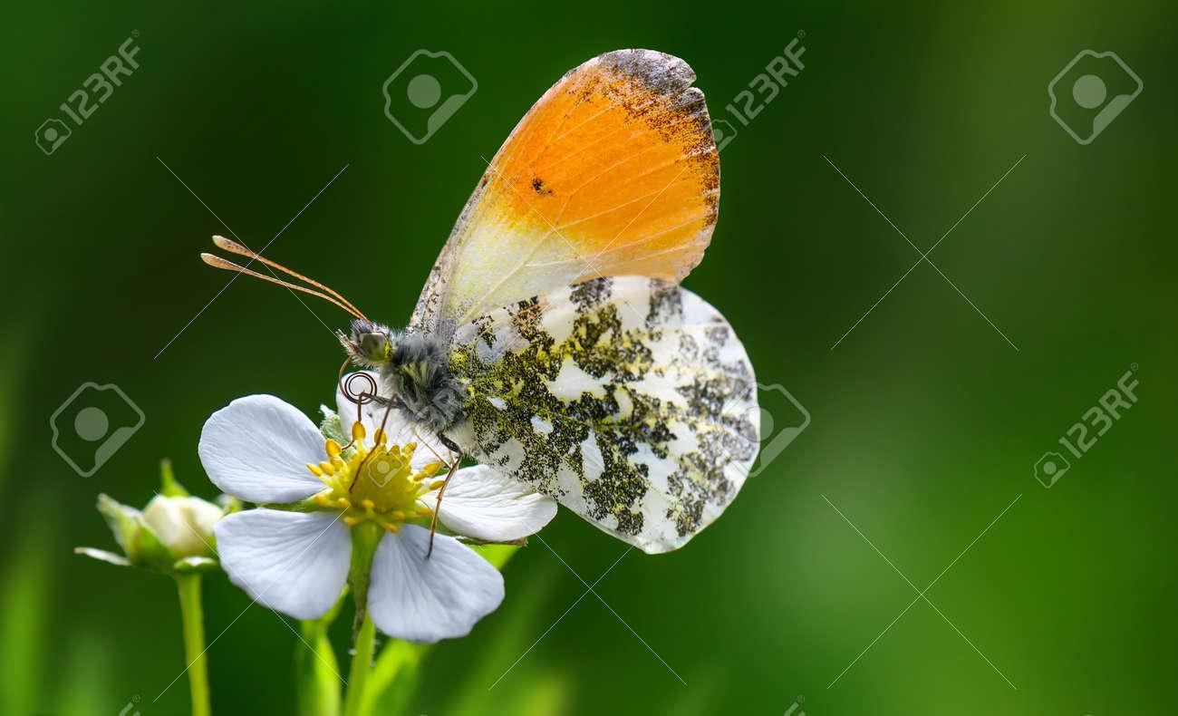 Orange Tip butterfly Anthocharis cardamines on strawberry flower . - 169711177