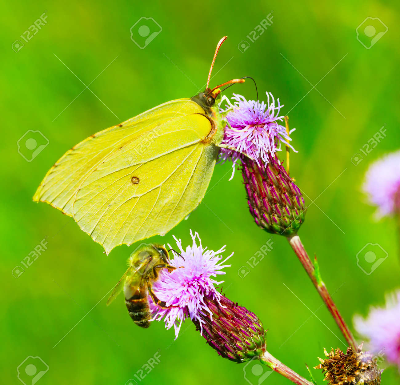 Yellow butterfly and Honey bee collect nectar - 171698006