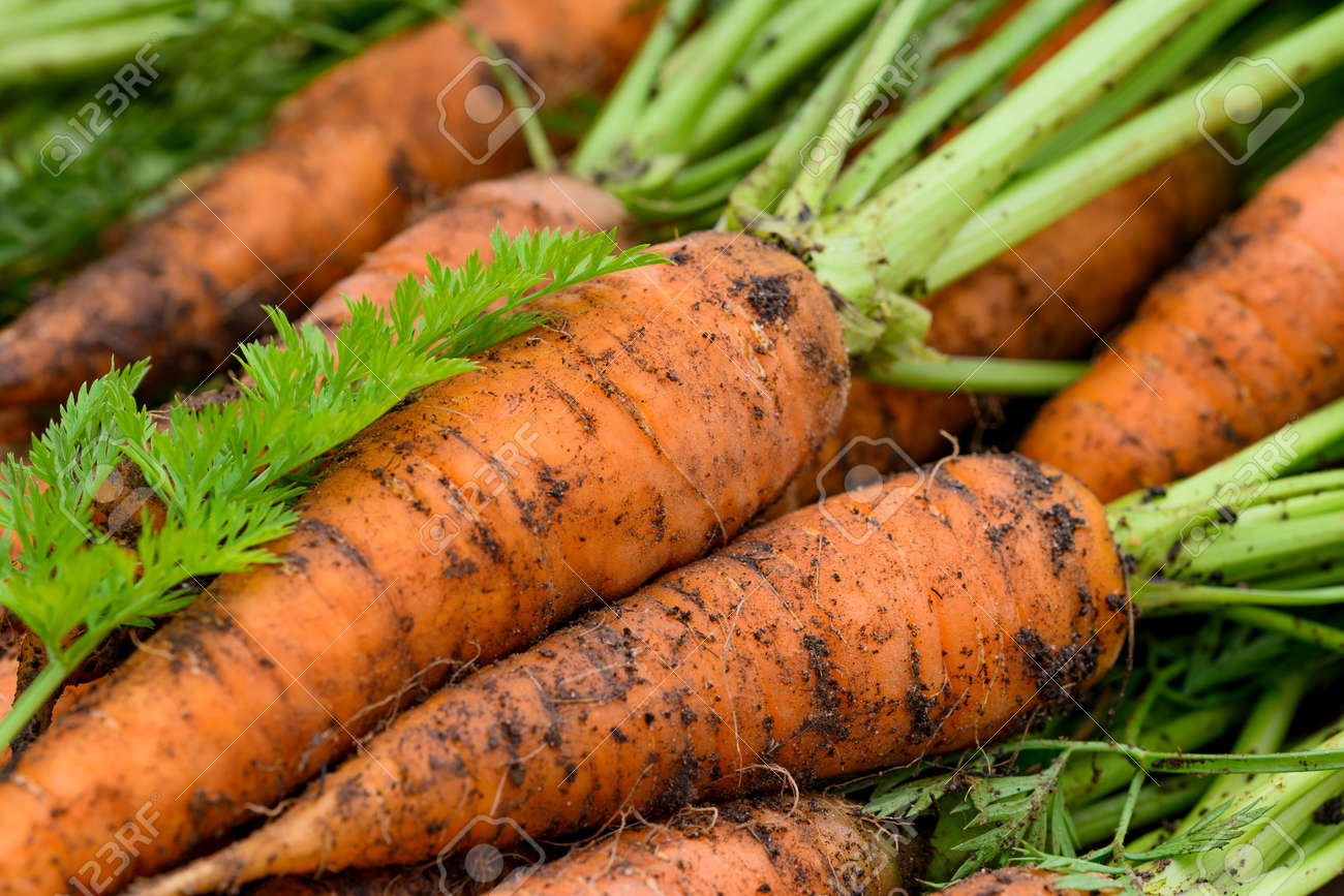 Crop of Fresh organic unwashed carrots with tops - 172105209