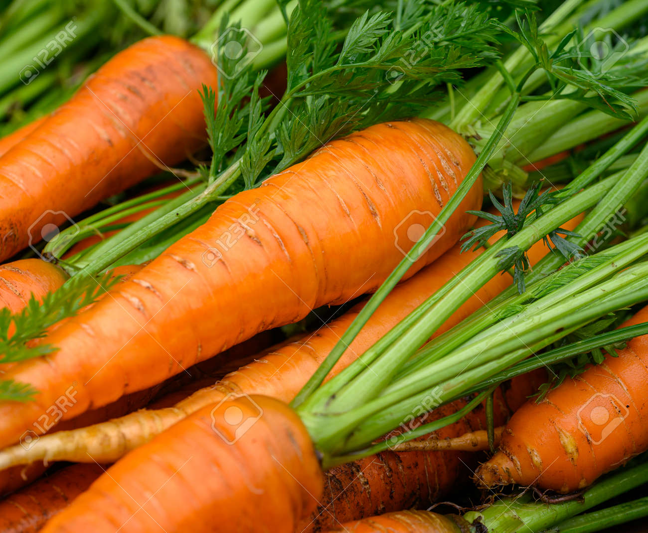 Crop of Fresh organic washed carrots with green tops - 172105162