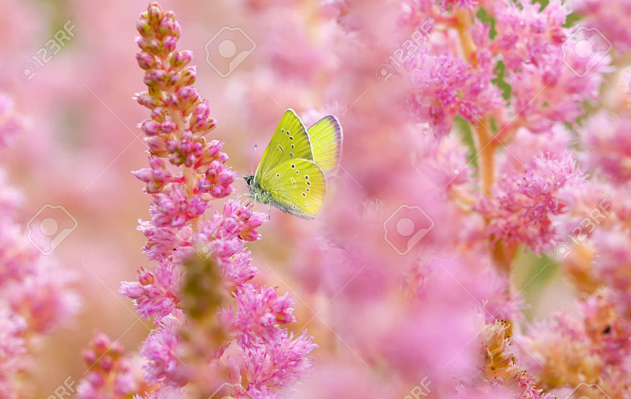 Yellow butterfly on blooming pink astilba flowers. Summer background - 172380184