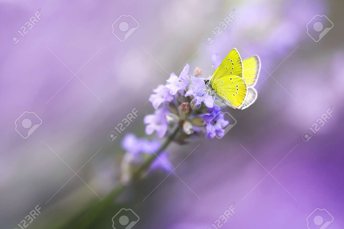 Yellow Butterfly on Blossoming Lavender flower close-up, macro. - 172477538
