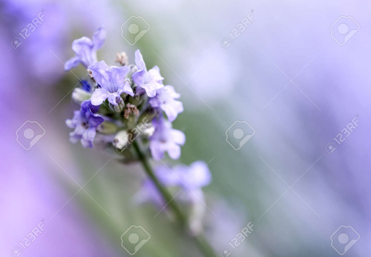 Blooming Lavender flowers close up. Shallow DOF - 172481306