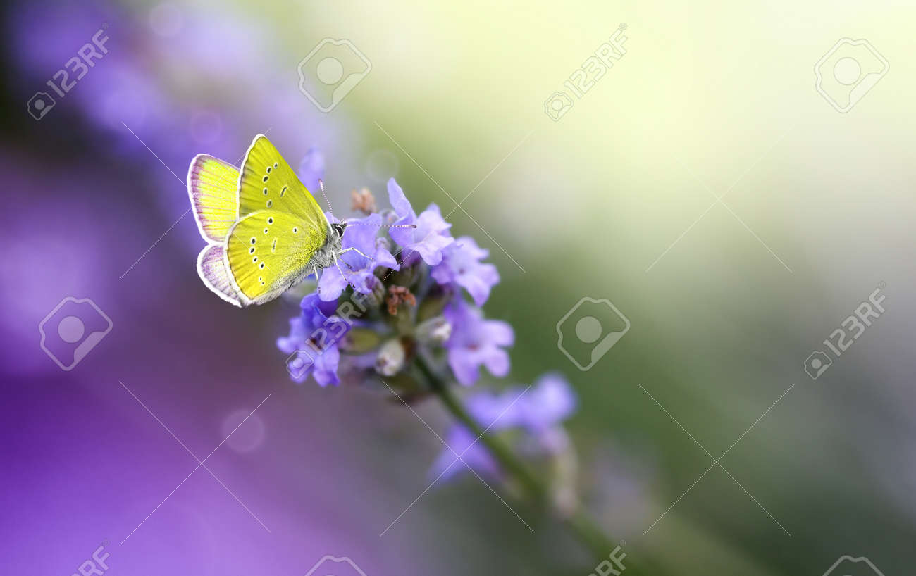 Yellow Butterfly on Lavender flower close-up, macro. - 172630963