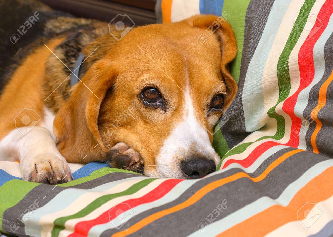 Beagle dog female lying on sofa sofa - 172631175