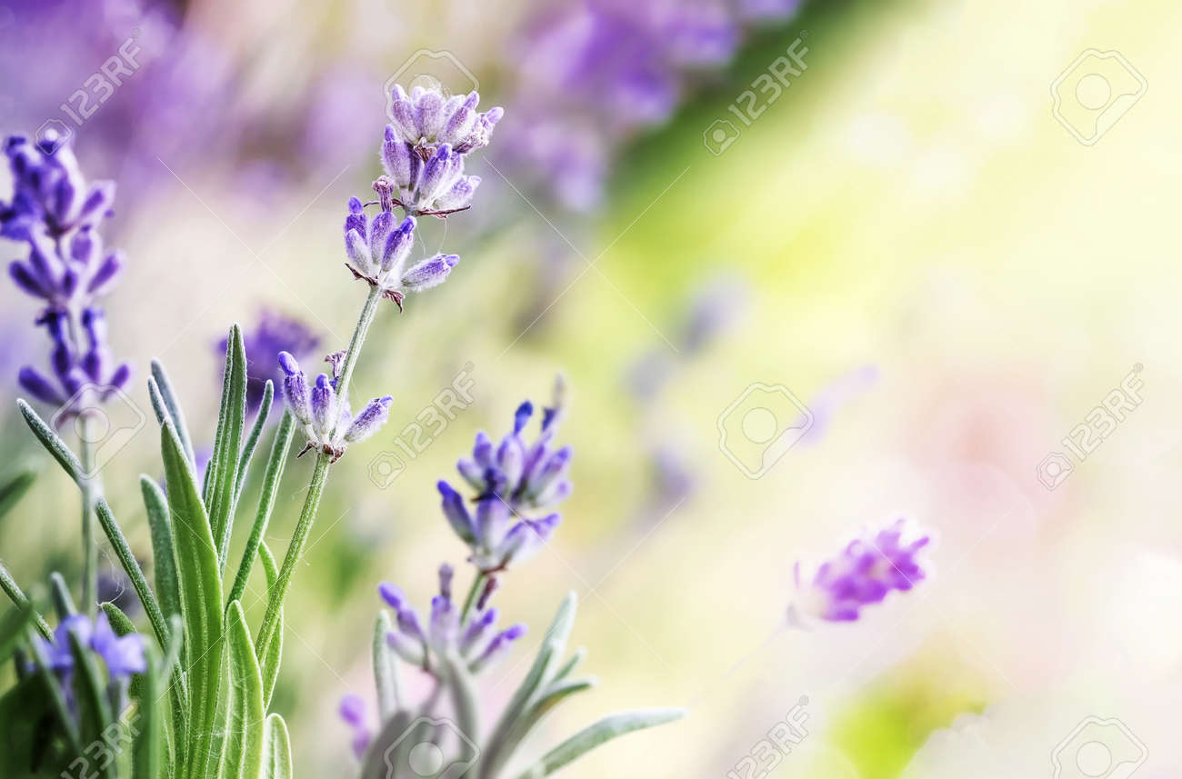 Blooming Lavender flowers on sunny day background - 172669382
