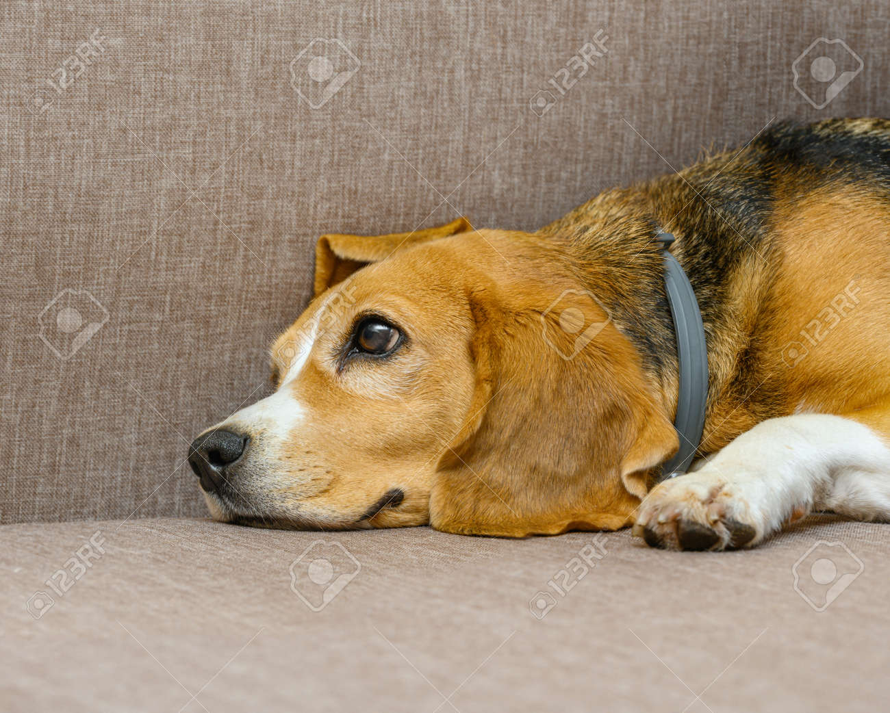 Beagle dog female lying on sofa sofa - 172648721