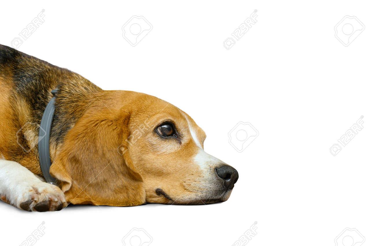 Beagle dog female isolated on a white background - 173305952