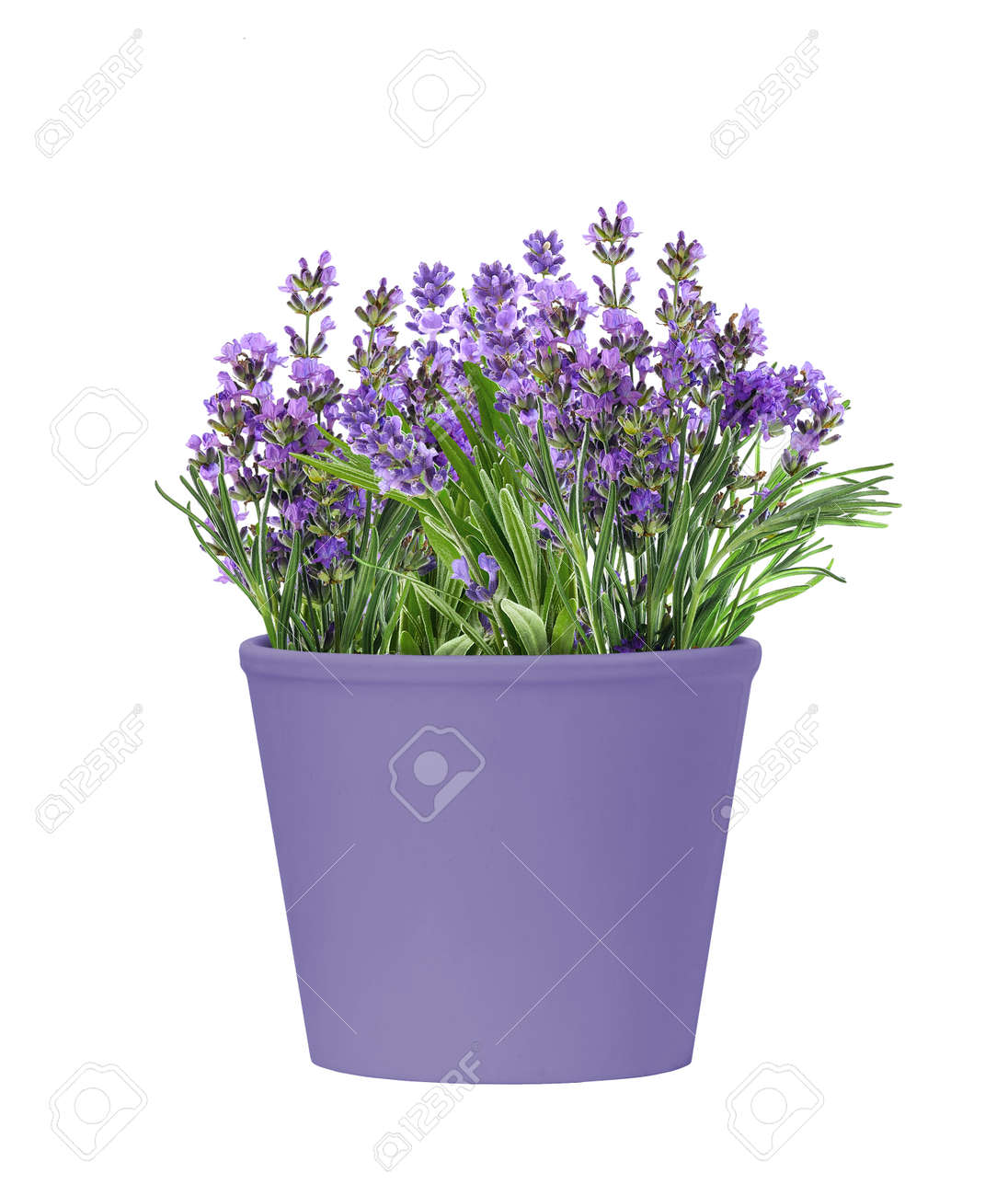 Pot of blooming lavender flowers isolated on white background - 172752947