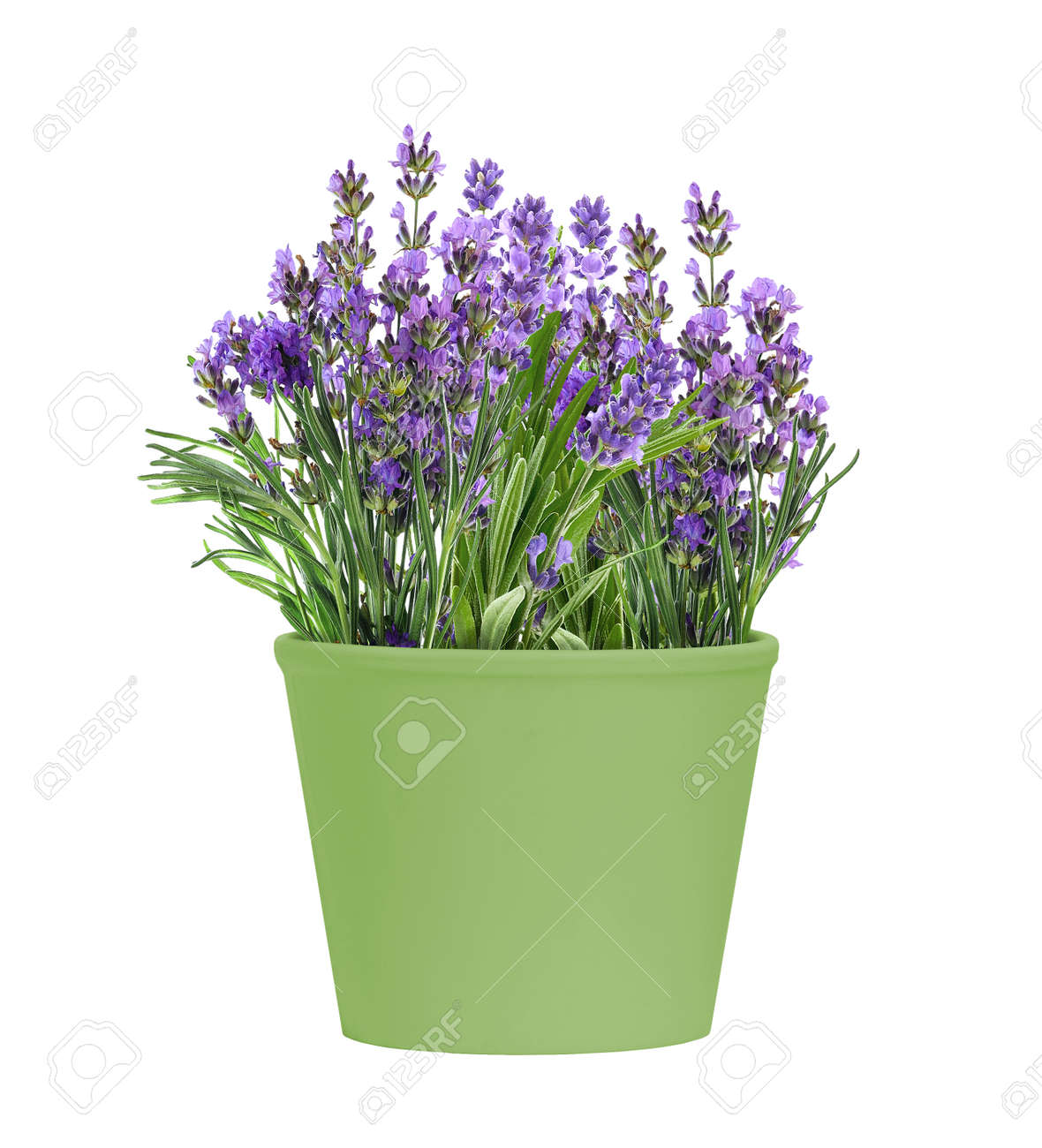 Green Pot of blooming lavender flowers isolated on white background - 173179303