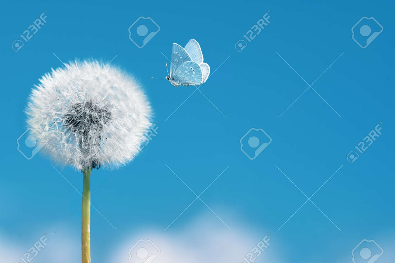 White dandelion with flying butterfly on blue sky background. Copy space - 173417652