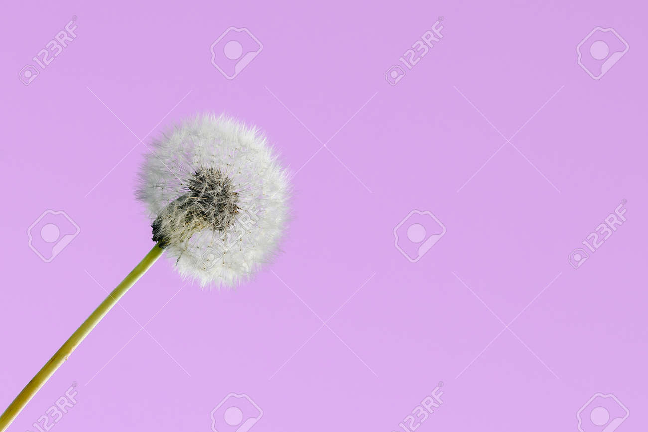 White dandelion on a pink background close-up - 173620094