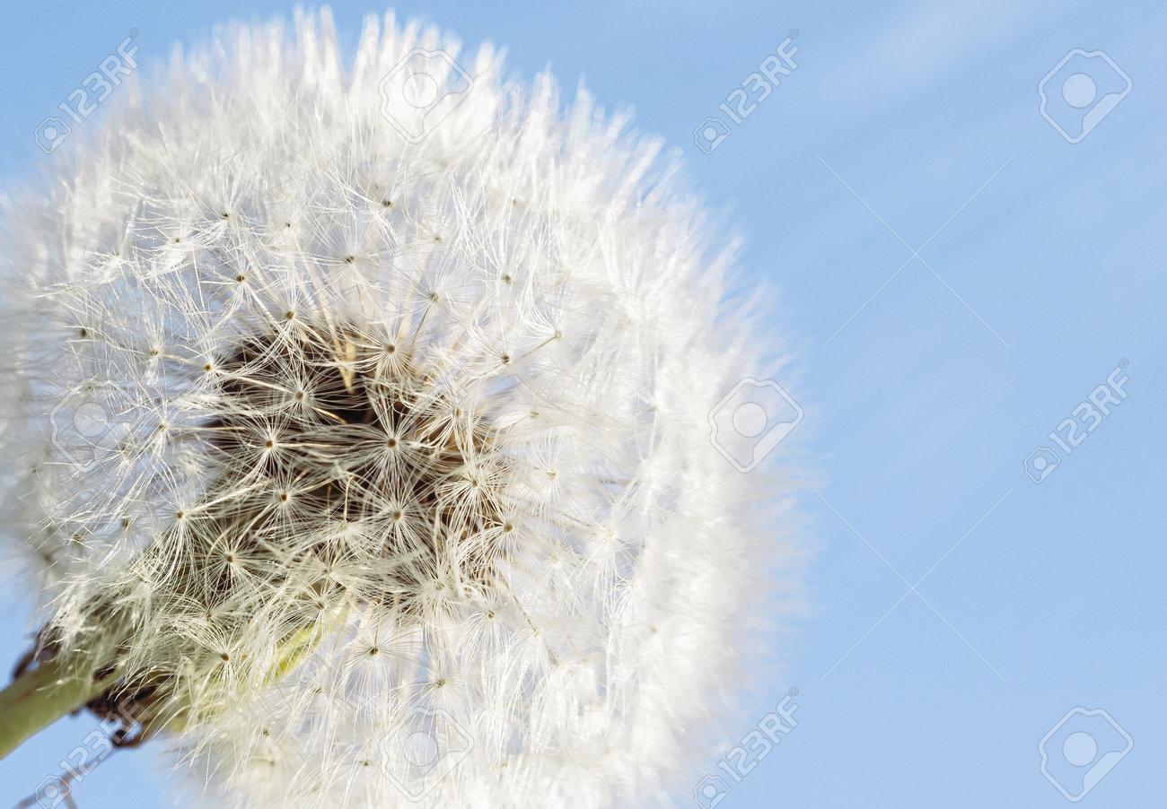 White dandelion on a blue sky background. Copy space - 173692838