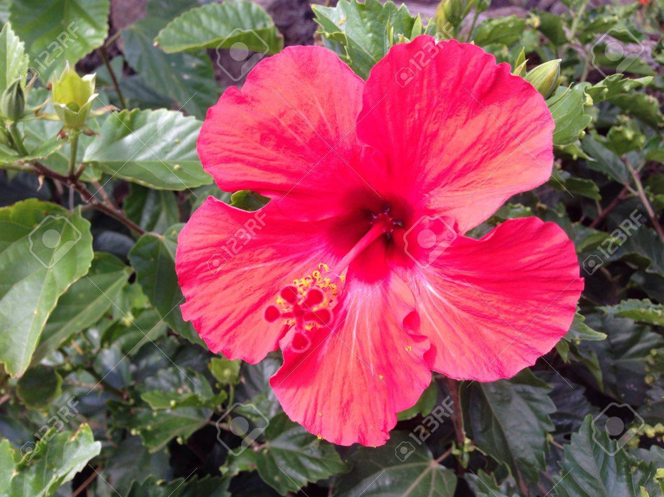 Pascuas Flower