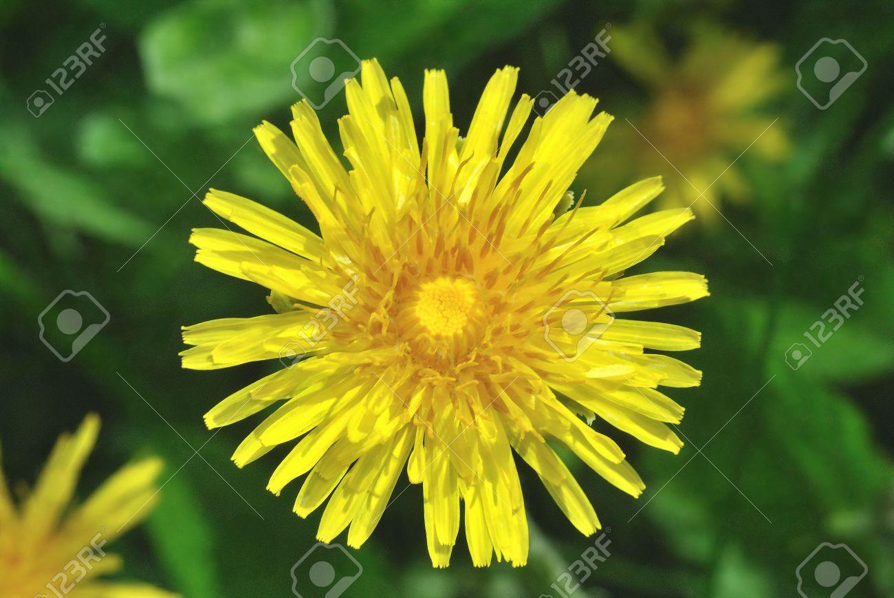 Fleur Jaune The De Plantes Sauvages De Pissenlit Sur Fond Sombre