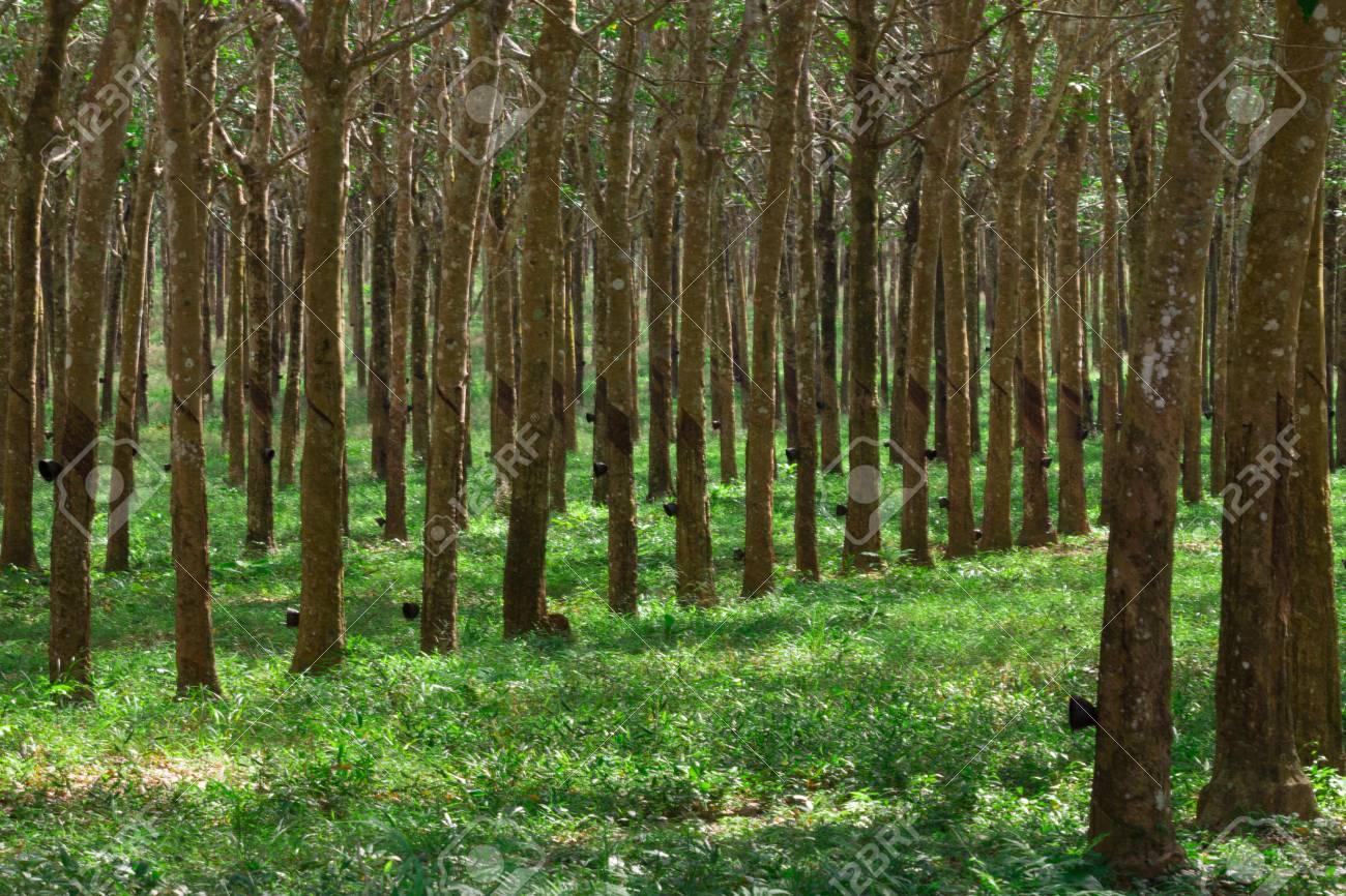 756ff02f493b Fila di alberi di gomma in piantagione nel sud-est asiatico. Produzione di  linfa bianca che può essere utilizzata per creare prodotti in gomma e  lattice.