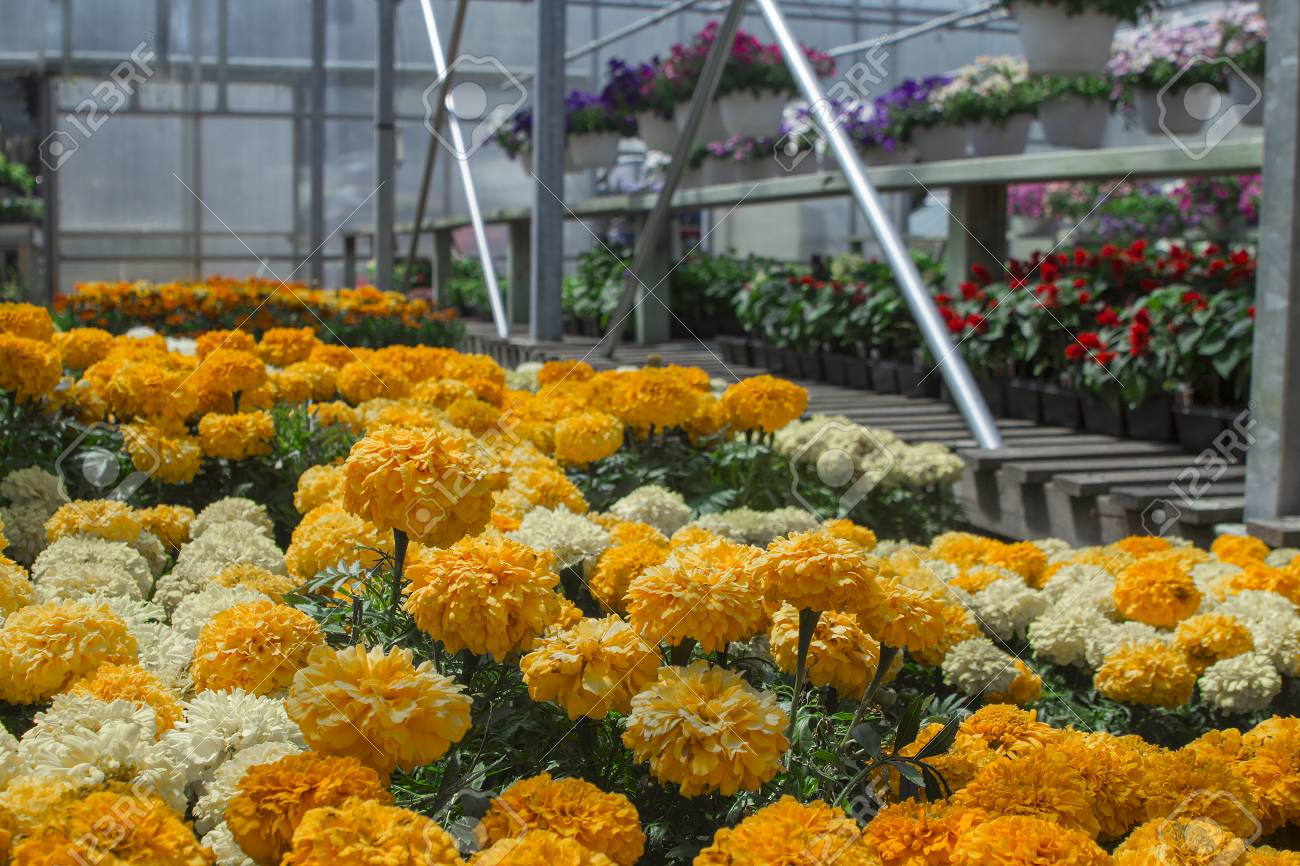 Michigan Greenhouse Marigolds For Seasonal Summer Planting Stock