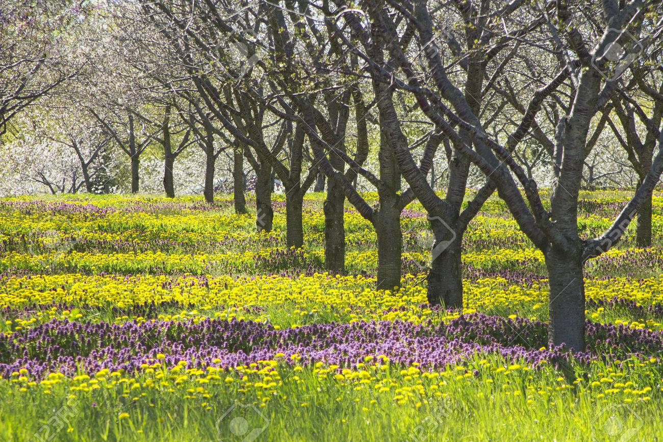 Spring Flowers Under Apple Tree In Michigan Orchard Purple Stock