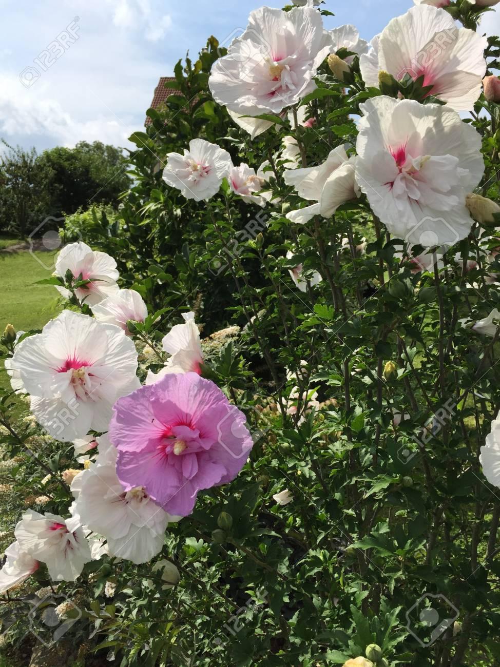 Eine Schöne Farbige Hibiskus Pflanze Im Garten Lizenzfreie Fotos