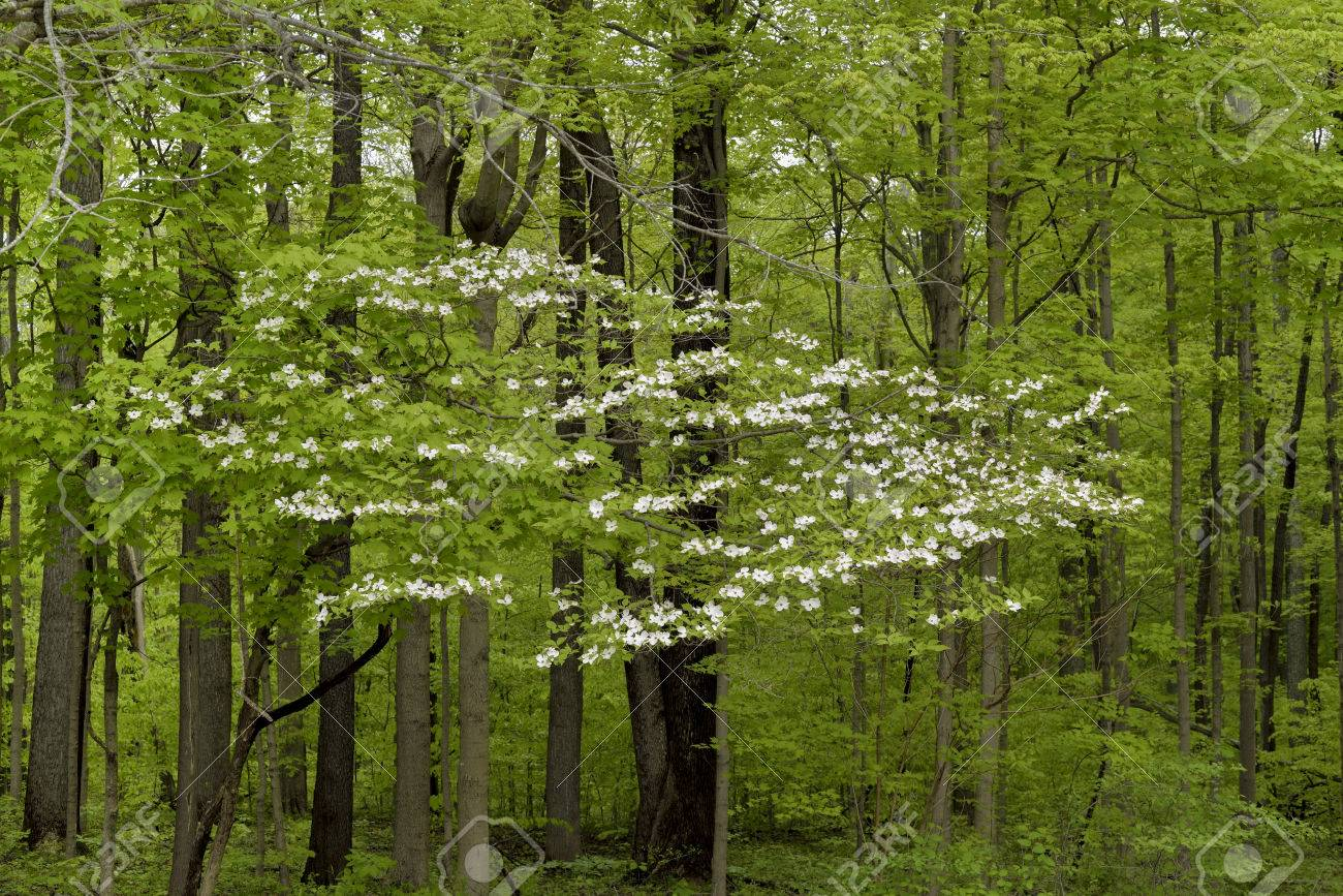 A White Dogwood Tree In Full Bloom Deep In The Forest. Stock Photo ...
