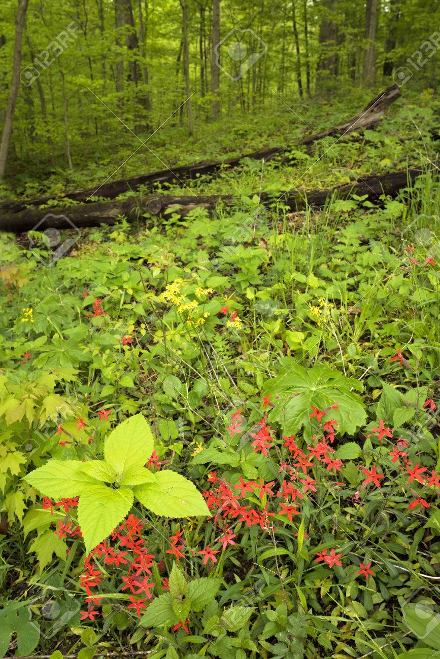 Red wildflowers bloom in the deep forest of an Indiana forest