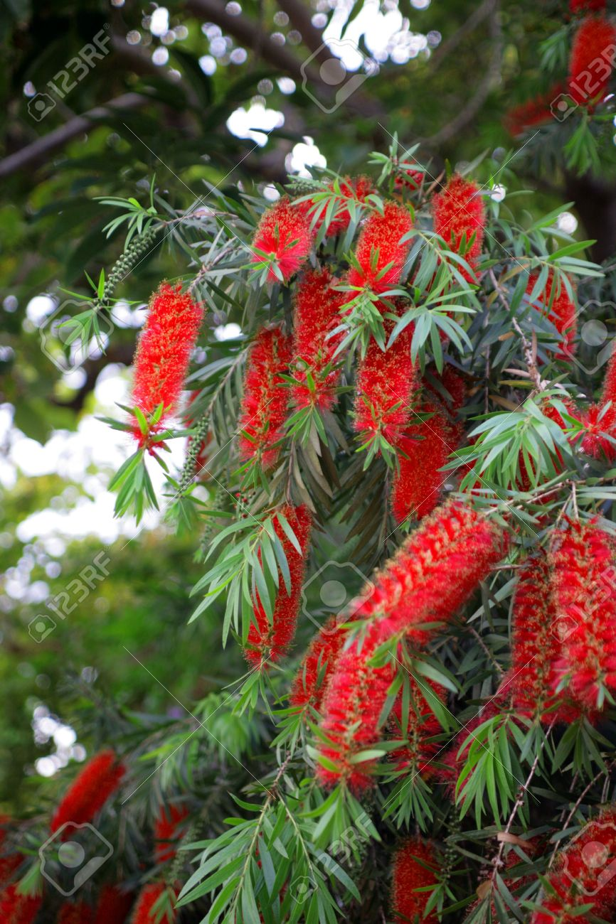 Red Flower Of Acacia Type Of Tree Stock Photo Picture And Royalty
