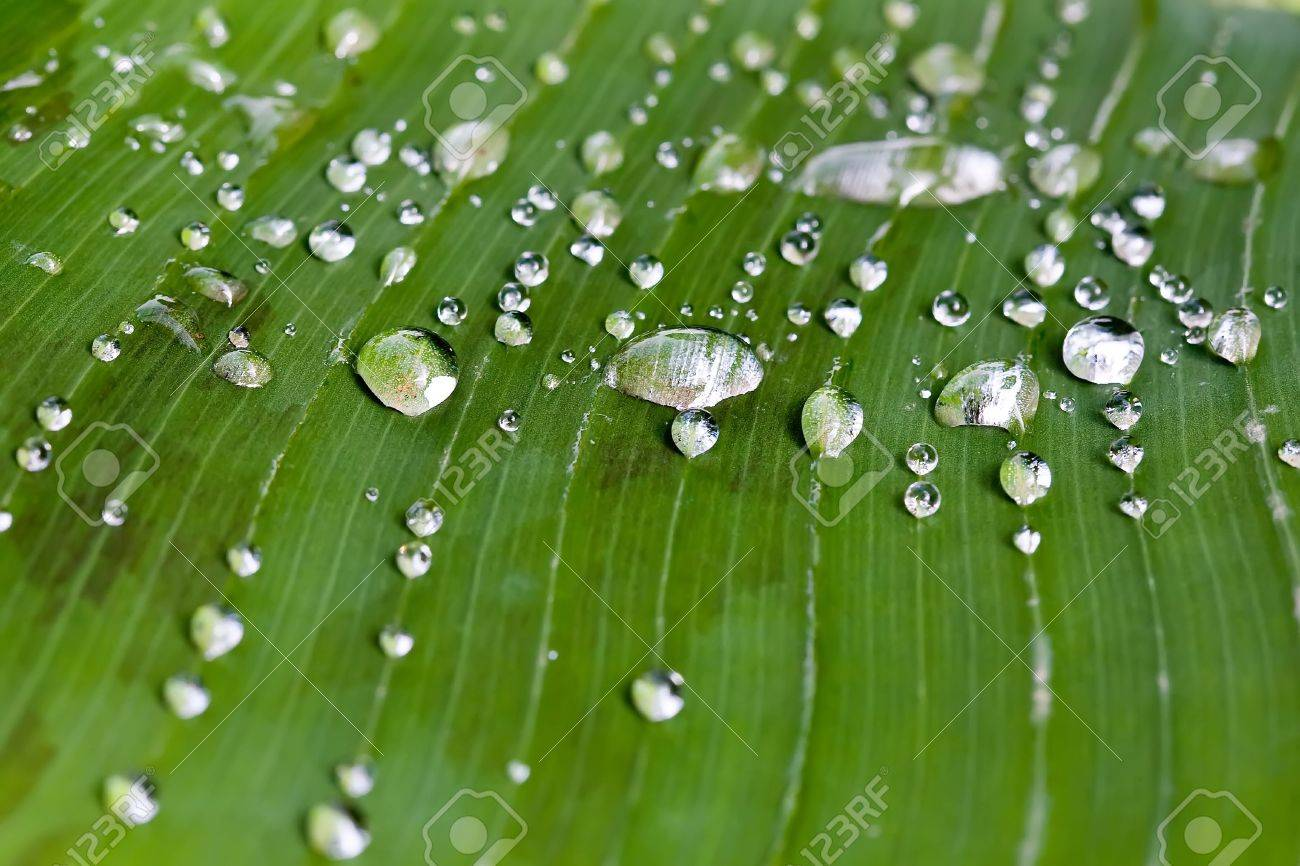 rain water drops on banana tree leaf Stock Photo - 1808914