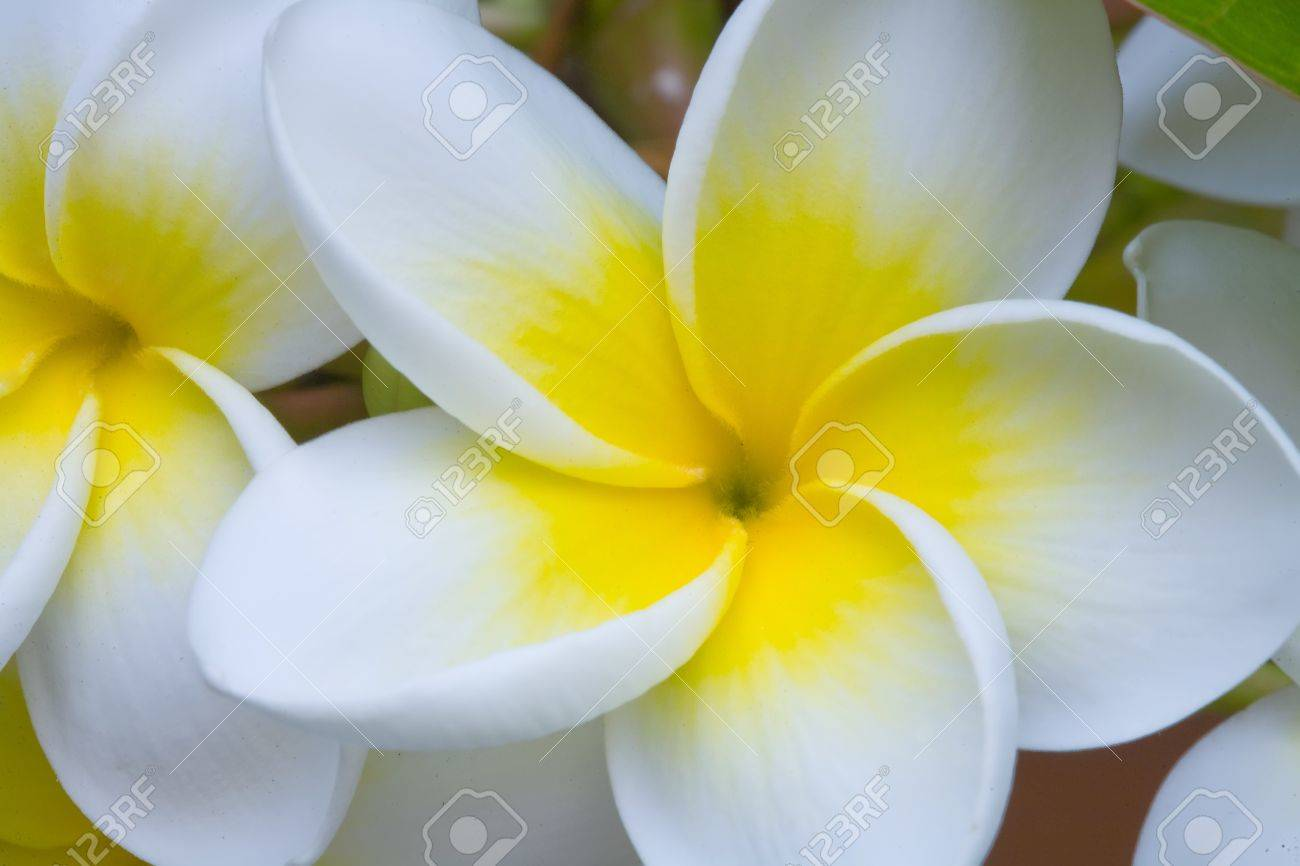 A Bunch Of Plumeria White And Yellow Flower On Tree Stock Photo