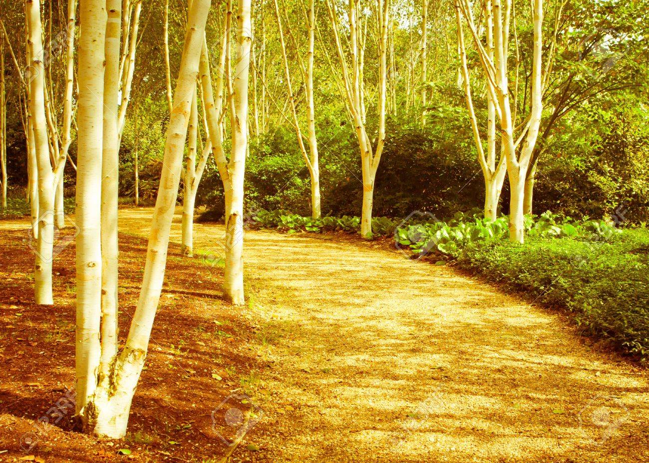 Nice warm toned image of a silver birch forest in the UK Stock Photo - 11793293