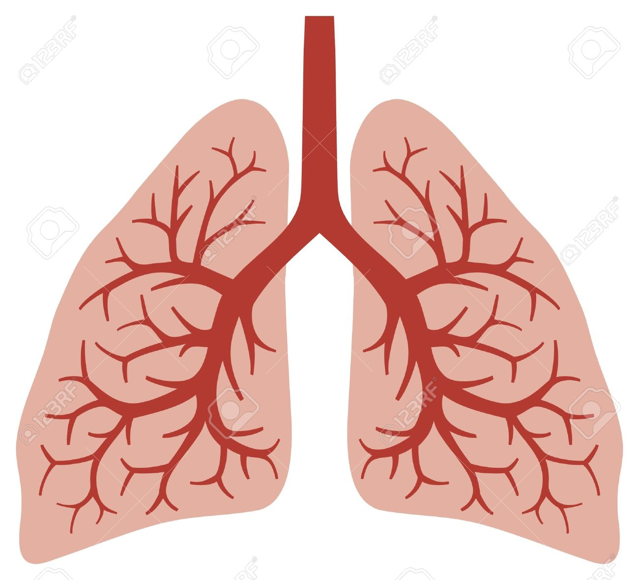 human lungs bronchial system, human organs, lungs anatomy - 17470038