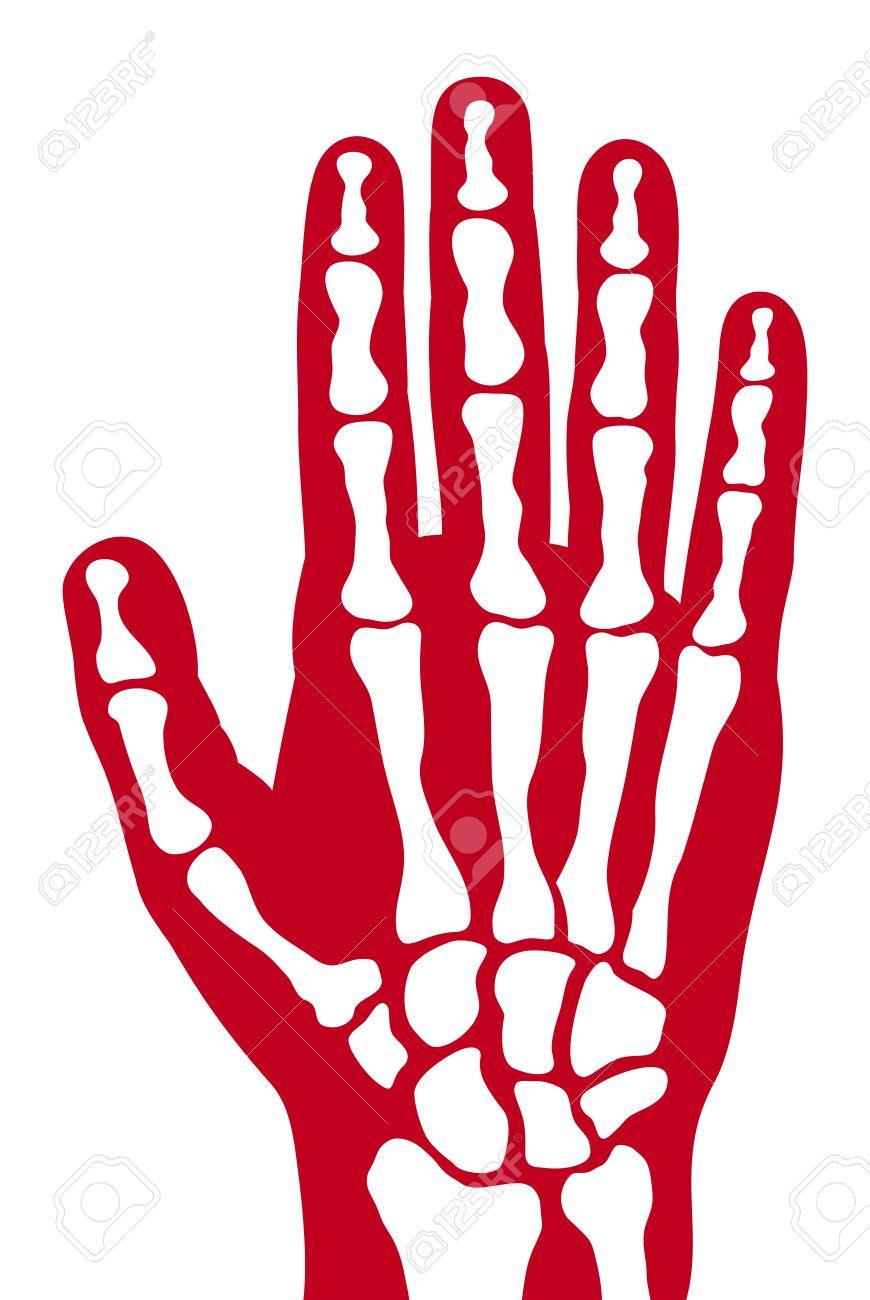 Human skeleton hand vector human hand bones royalty free cliparts human skeleton hand vector human hand bones imagens 41896529 ccuart Choice Image