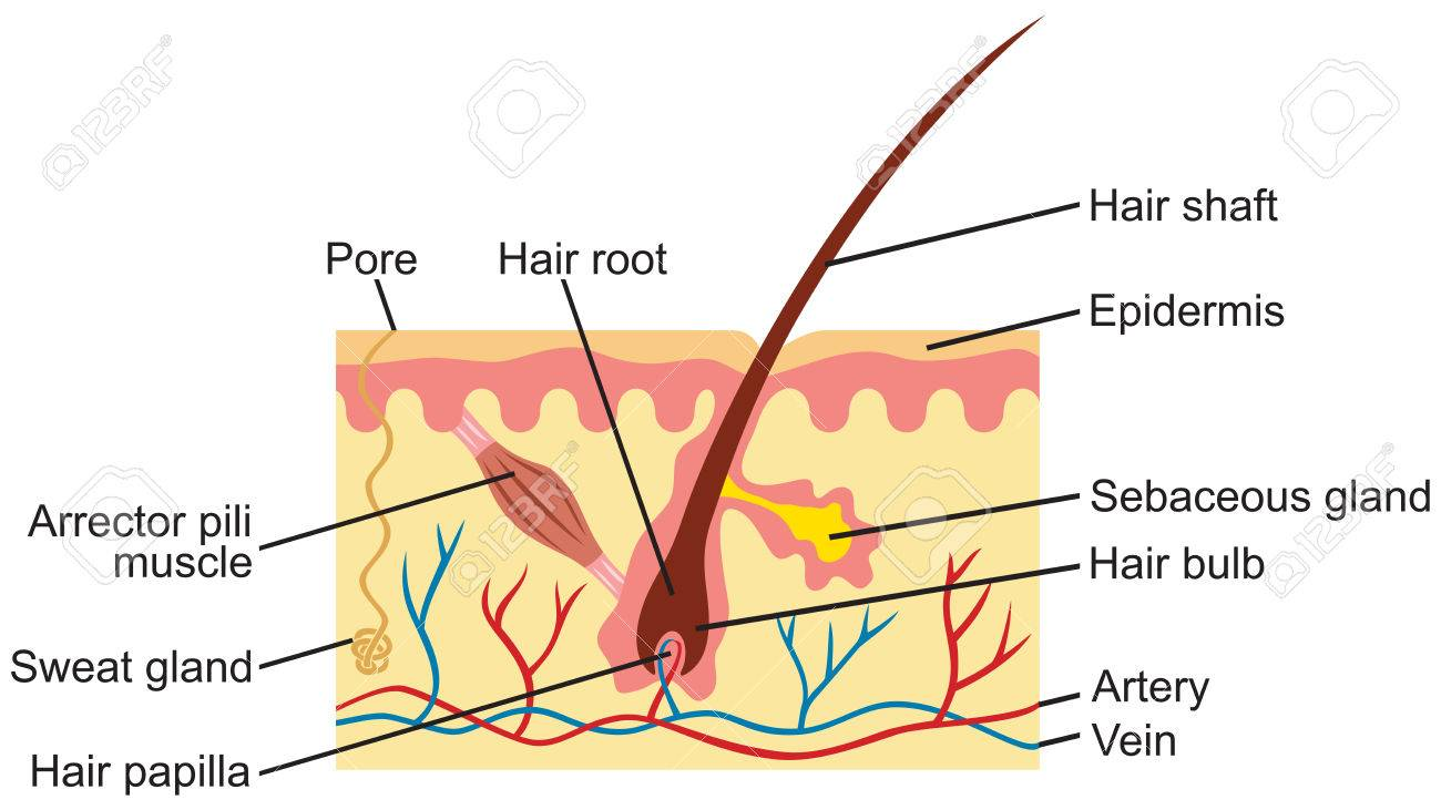 Hair And Human Skin Anatomy Illustration Royalty Free Cliparts ...