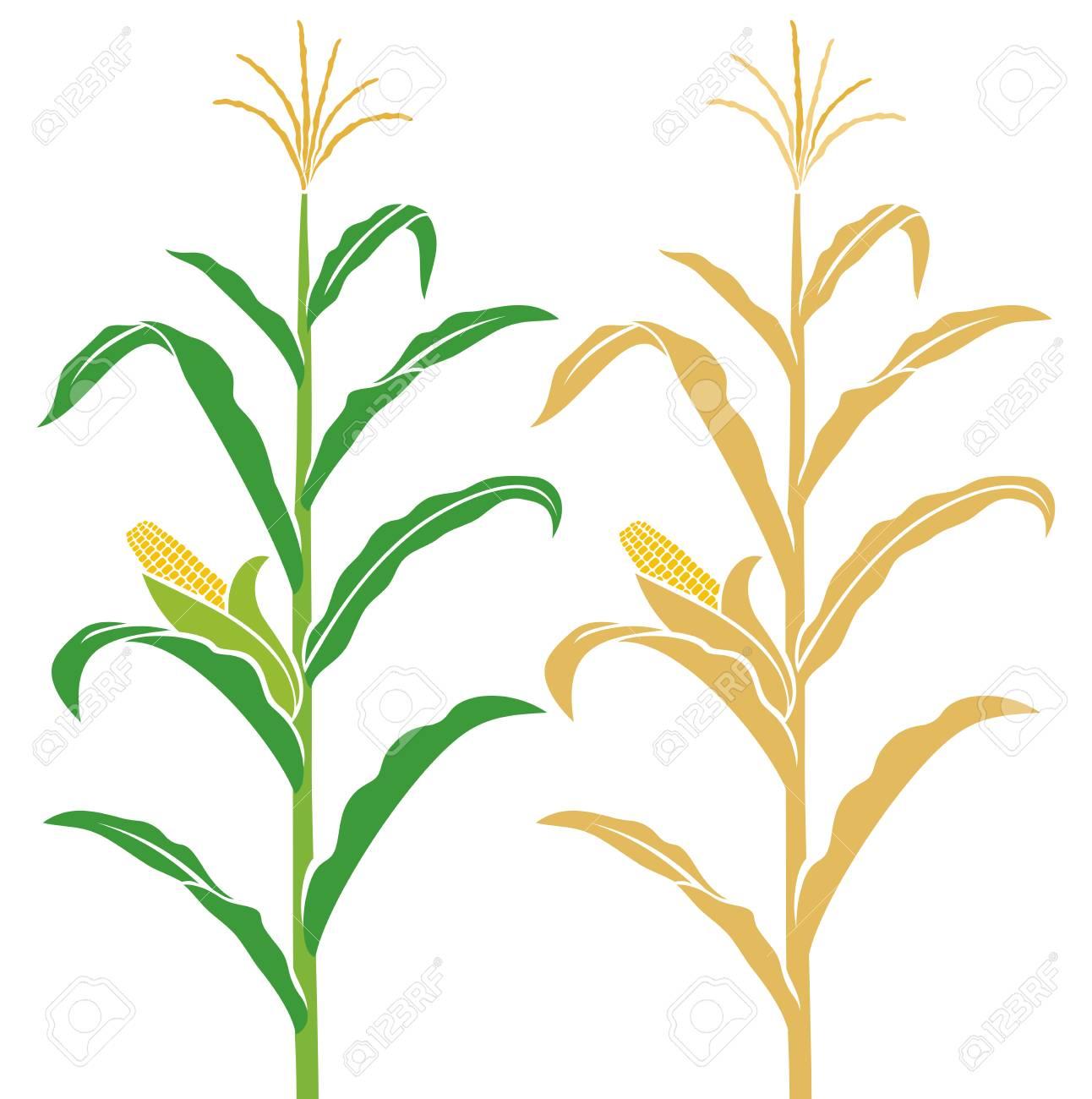 Corn stalk vector illustration. - 88415220