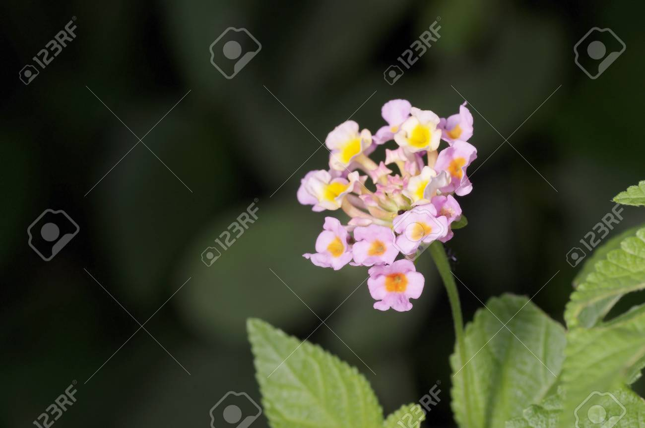 White Sage Flower In The Garden Stock Photo Picture And Royalty