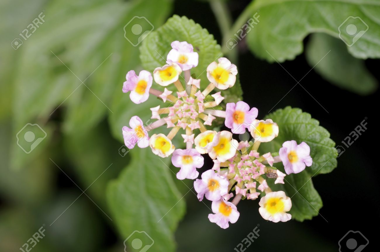 White Sage Flower In The Graden Stock Photo Picture And Royalty