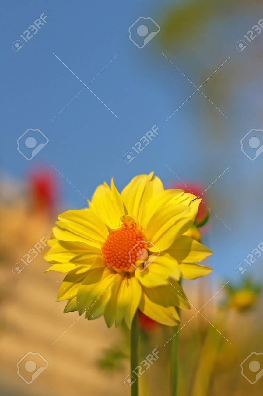 Yellow dahlia flower under the blue sky stock photo picture and stock photo yellow dahlia flower under the blue sky izmirmasajfo