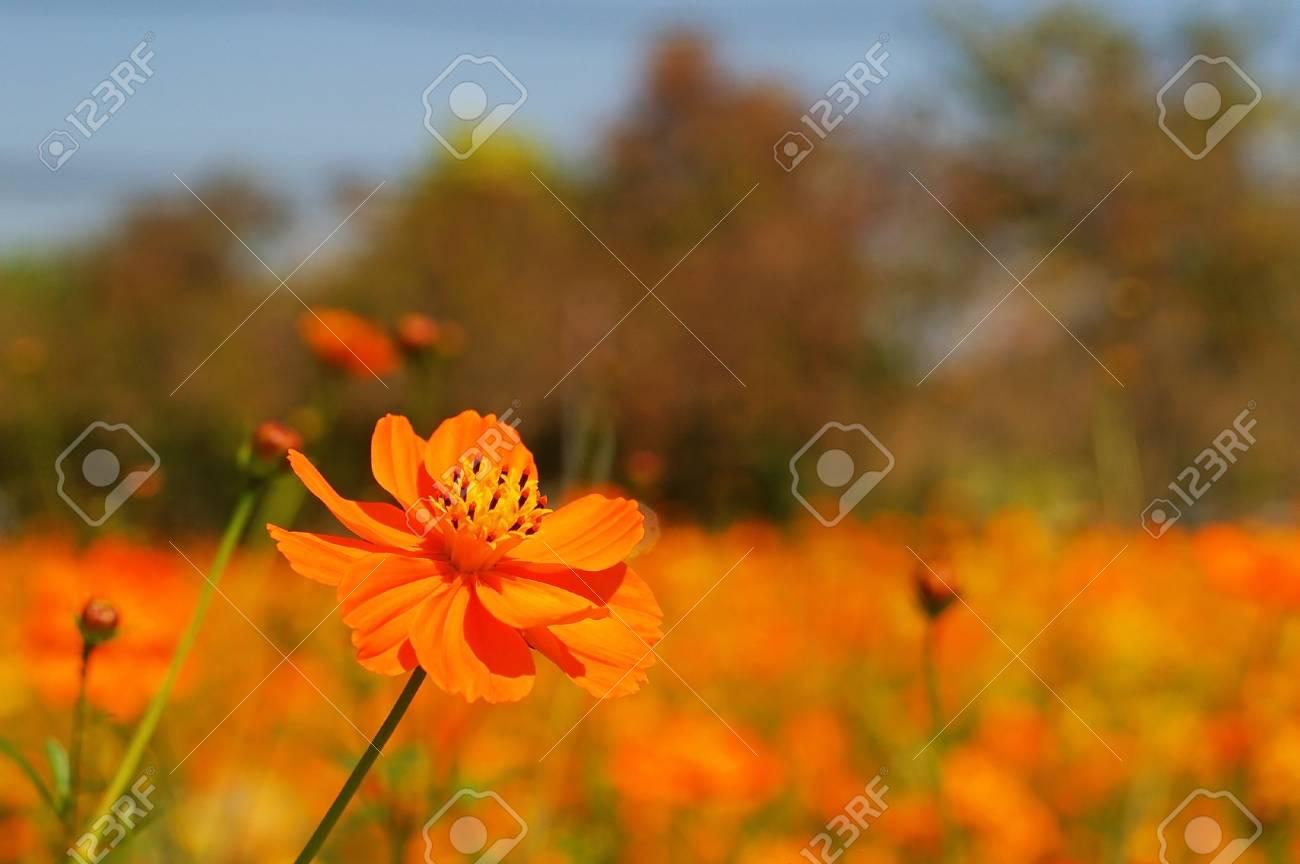 Cosmo giallo fiore nel letto di fiori coltivati foto royalty free