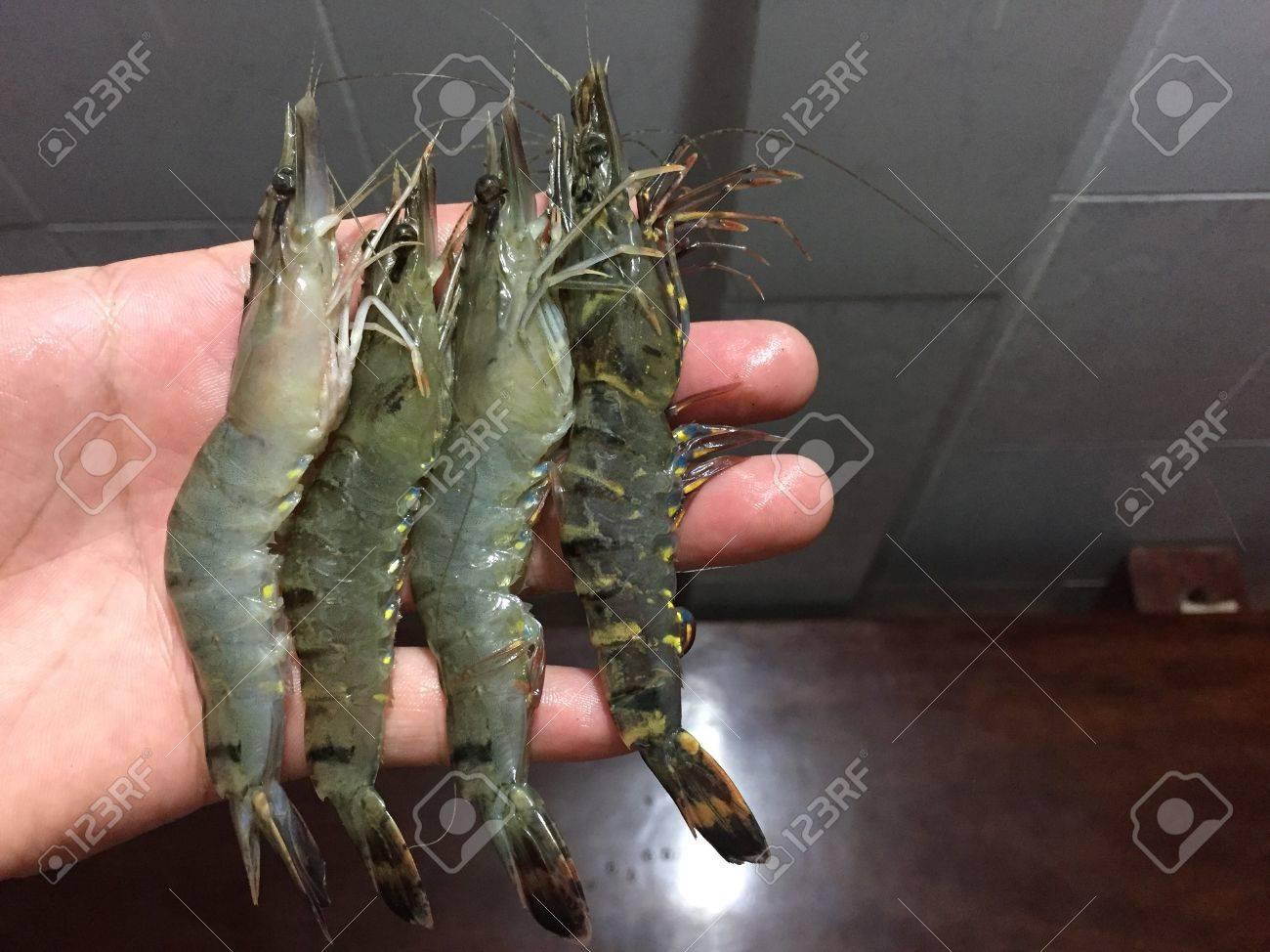ベトナム黒海老・ ウシエビ の写真素材・画像素材 Image 71920027.