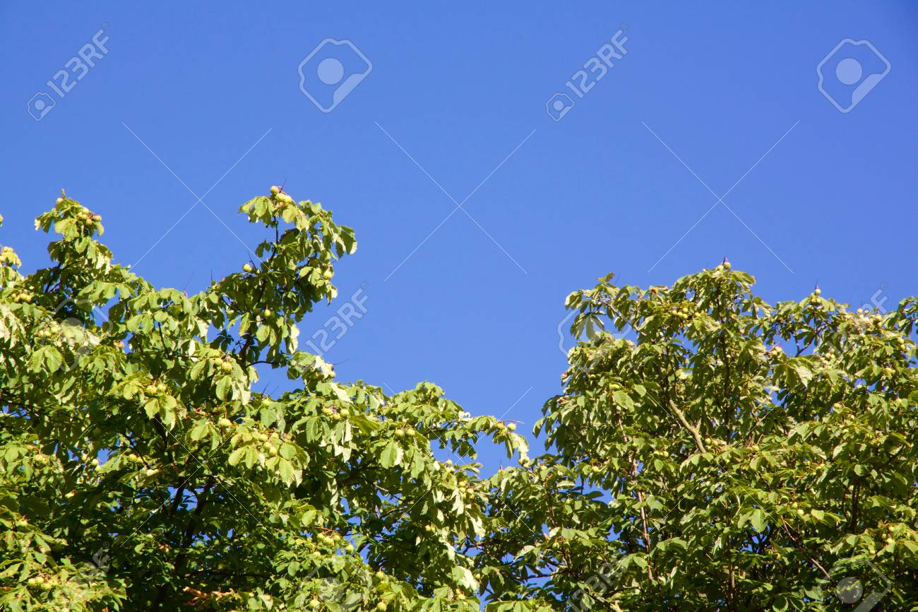 Close-up view on chestnut tree with copy-space against a blue sky - 79149720
